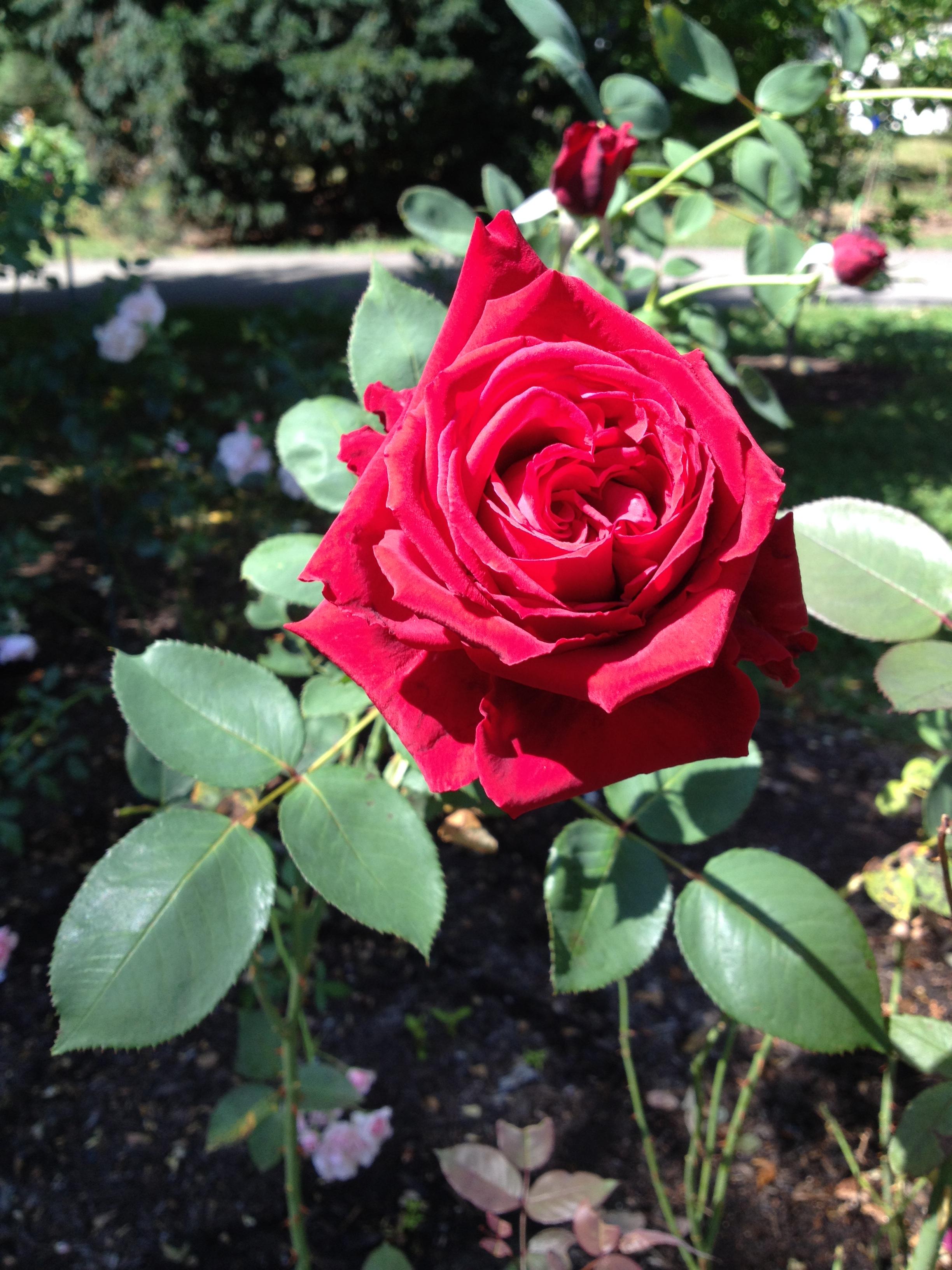 Roses In Garden: Essex County Brookdale Park Rose Garden